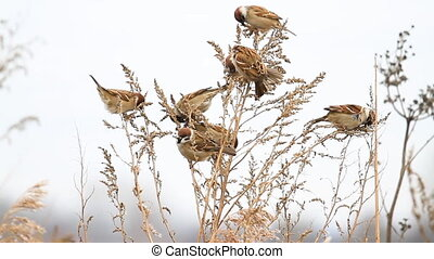 flock of beautiful birds eat weed seeds , wild nature