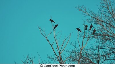 flock of birds crows blue sky autumn taking off from a tree. a flock of crows black bird dry tree. birds ravens in lifestyle the sky. a flock of crows concept