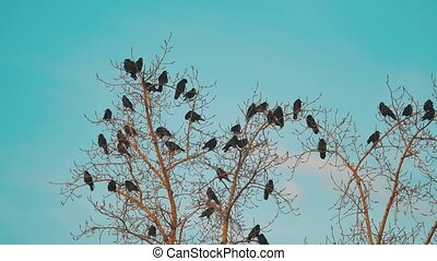 flock of birds crows blue sky autumn taking off from a tree. a flock of crows black bird dry tree. birds lifestyle ravens in the sky. a flock of crows concept
