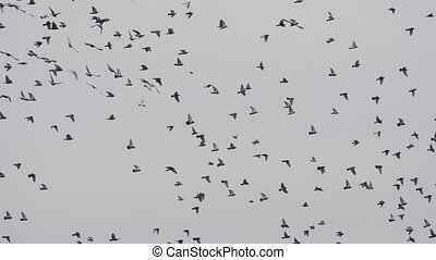 Flock of birds, doves swarming against a blue sky with clouds