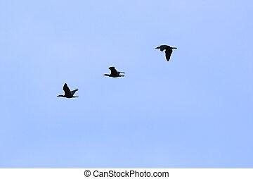 Flock of Birds - Flock of Cormorants Against Blue Sky. Over...