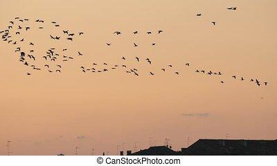 Flock of birds flying over pink sunset sky background....