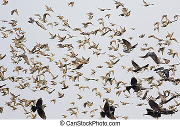 flock of birds flying, starling