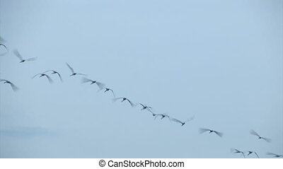 flock of birds in search of food lands on the wetland,two shots
