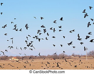 Flock of birds, Jackdaw, Corvus monedula