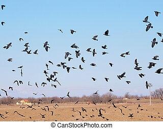 Flock of birds, Jackdaw, Corvus monedula