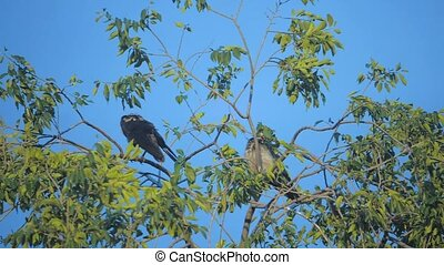 flock of birds ravens in the summer sits on a tree. a flock...