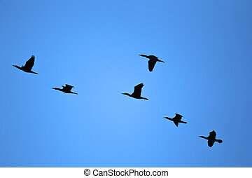 Flock of Birds - Silhouettes of Flying Cormorants Against...