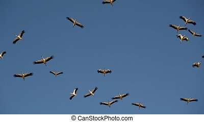 flock of birds, storks flying