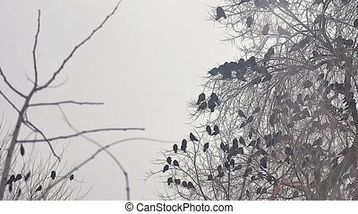 flock of birds taking off from crow a tree, flock of crows black bird dry tree