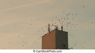 Flock of black birds circling in a town