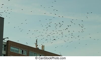 Flock of birds flying around a building, crows or jackdaws