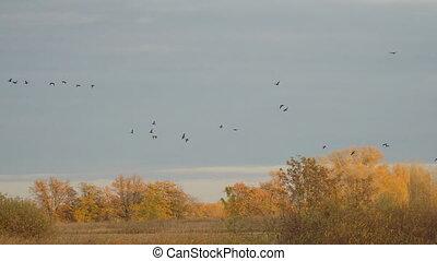 Flock of black birds flying in the autumn orange forest