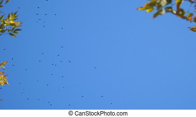 Flock of black birds in the blue sky