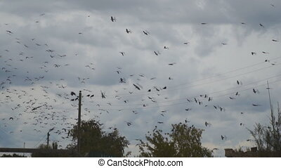 Flock of black birds, raven or rooks, fly against a dark cloudy sky