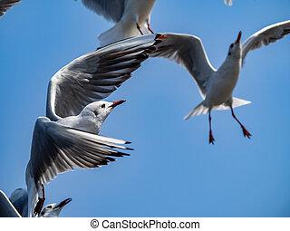 Flock of black-tailed gulls in flight in Yamashita park, Yokohama 2