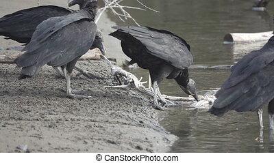 Flock of Black Vultures (Coragyps atratus) fighting for food...