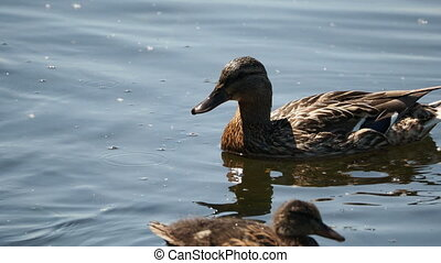 Flock of brown colored ducklings swimming in river. Birds ...
