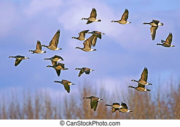 Flock of Canada Geese flying - Flock of Canada Geese in...