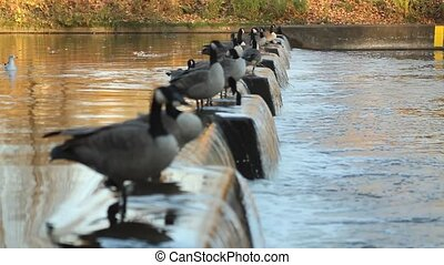 Flock of Canadian geese