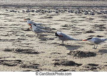 Flock of Caspian Tern Birds