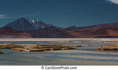 Flock Of Chilean Flamingos At A Lake - This clip is...
