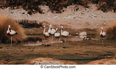Flock Of Chilean Flamingos - This clip is available in...