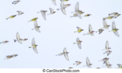 flock of colored birds flies rapidly over the field, birds...