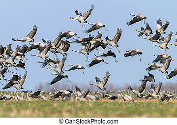 Flock of Common Crane (Grus grus) in a field, migration