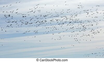 Flock of cranes flying against cloudy sky, spring migration...