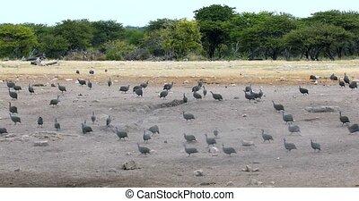flock of Crested guineafowl Etosha, Namibia Africa - flock...