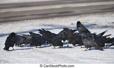 flock of crows are sitting in the snow. flock of wild ravens winter eat grain on snow birds outdoors winter