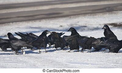 flock of crows are sitting in the snow. flock of wild ravens winter eat grain on snow birds winter outdoors
