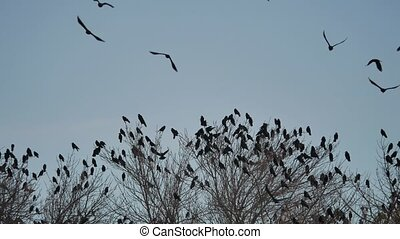 flock of crows sit on the tops of the bird autumn trees....