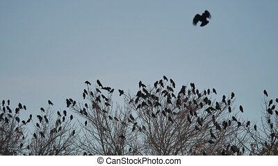 flock of crows sit on the tops of the autumn bird trees....