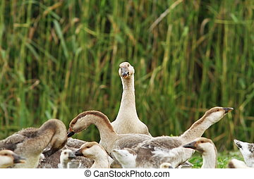 flock of domestic geese