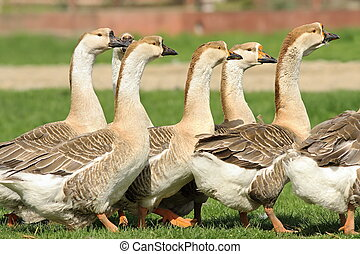 flock of domestic geese walking together on lawn