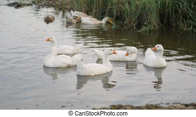 Flock of ducks and geese on a river