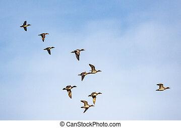 Flock of ducks flying in the sky.