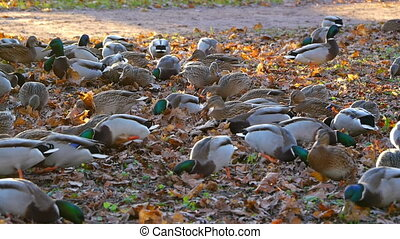 Flock of ducks is looking for food in grass
