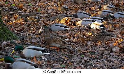 Flock of ducks is preparing for migration