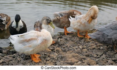 Flock of ducks on a river