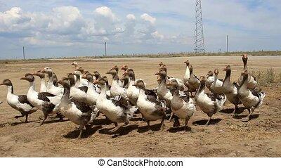 Flock of ducks on the field