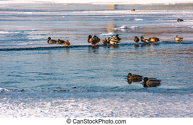 flock of ducks on the ice of frozen river. some birds swim...