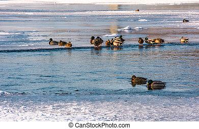 flock of ducks on the ice of frozen river. some birds swim...