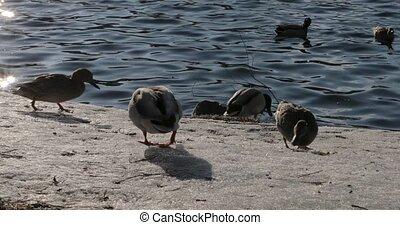 flock of ducks on the quay near the sea.