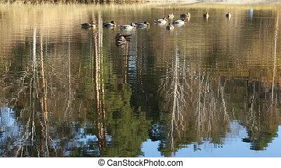 Flock of ducks on water