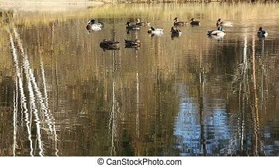 Flock of ducks on water