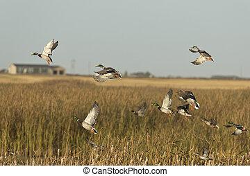 Flock of Ducks - A flock of ducks taking flight from a...