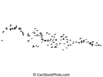Flock of ducks three
